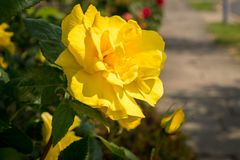 A yellow rose with a sidewalk. In the background, seen in Walton-on-the-Naze, Essex, England, UK Stock Image