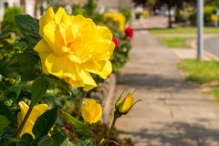 A yellow rose with a sidewalk. In the background, seen in Walton-on-the-Naze, Essex, England, UK Royalty Free Stock Photos