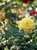 Yellow Rose, Single Flower royalty free stock images