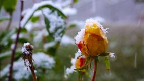 Yellow rose and snowfall. Snowfall in the winter garden with yellow rose stock video