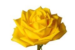 Yellow rose som isoleras på vit bakgrund Arkivfoto