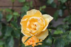Yellow rose. Soothing colour really stands out against the natural background. Ideal for anything where you& x27;d like an added dash of colour stock photos
