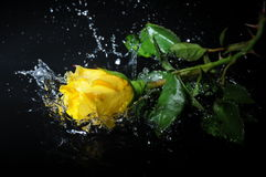 Yellow rose splash Royalty Free Stock Photo