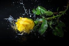 Yellow rose splash Royalty Free Stock Photo