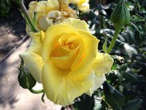 Yellow rose. On spring time Stock Photography