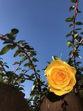 Yellow rose on sunny bush. Close up of yellow rose on leafy green bush in sunny garden against blue skies stock images