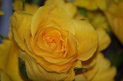 Yellow Rose. Of Texas stock photo