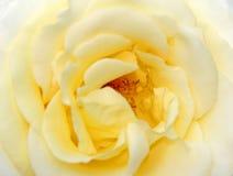 Yellow rose of texas Stock Photos