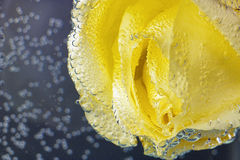 Yellow rose under water Royalty Free Stock Photo
