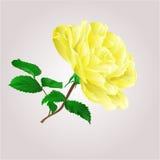 Yellow rose vector Stock Photo