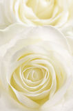 Yellow rose. Vertically. Royalty Free Stock Image