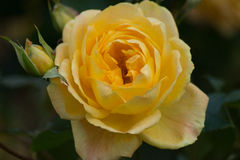 Yellow Rose. Very nice yellow rose bloom Stock Photo