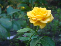 Yellow rose in the village near the house. Plot near the house. Yellow rose Stock Images