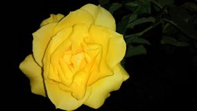 Yellow rose wallpaper stock images