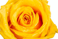 Yellow rose with water droplet. Isolated on white background Royalty Free Stock Images