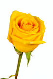 Yellow rose with water droplet Stock Photo