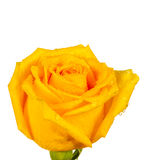 Yellow rose with water droplet Stock Photography