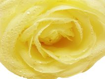 Yellow rose in water drops Royalty Free Stock Image
