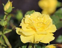 Yellow Rose with water drops Royalty Free Stock Image