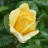 Yellow rose with water drops of dew royalty free stock photography