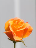 Yellow rose with water drops Royalty Free Stock Photos