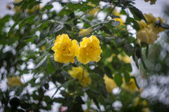 Yellow rose with water drops Stock Image