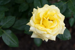 Yellow rose with water drops Royalty Free Stock Images