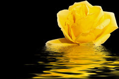 Yellow rose water reflection black Stock Photos