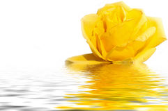 Yellow rose water reflection white Royalty Free Stock Photo