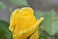 Yellow rose. Wet from rain Royalty Free Stock Photos
