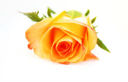Yellow rose on a white background Stock Photo