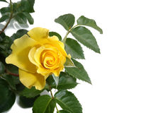 Yellow rose on a white background Stock Photography