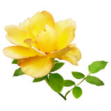 Yellow rose. On a white background Stock Image