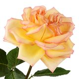 The yellow rose on white background Royalty Free Stock Image