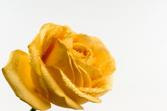 Yellow rose on the white background Royalty Free Stock Photos