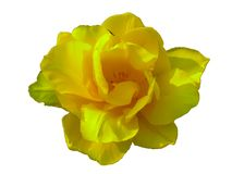 Yellow rose on a white background stock photos
