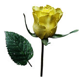 Yellow rose  on white isolated background with clipping path.  No shadows. Closeup.  A flower on a stalk with green leaves after a Stock Photos