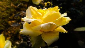 Yellow rose With white shades beautiful background royalty free stock photography