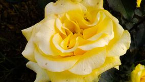 Yellow rose With white shades beautiful background stock images
