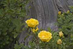 Yellow rose wildflower Royalty Free Stock Photos
