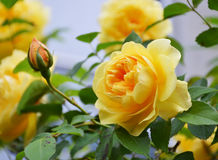 Free Yellow Rose With Buds. Stock Photography - 76054202