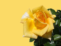Yellow rose on a yellow background Stock Images