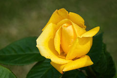 Yellow Rosebud Stock Image