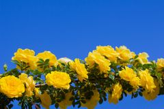 Yellow rosehip Bush in bloom on a sunny day, blue sky background. Yellow rosehip Bush in bloom on a bright sunny day, blue sky background, shrub, dogrose, wild stock photo