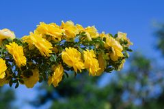 Yellow rosehip Bush in bloom on a sunny day, blue sky background. Yellow rosehip Bush in bloom on a bright sunny day, blue sky background, shrub, dogrose, wild stock image