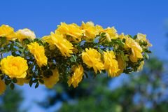 Yellow rosehip Bush in bloom on a sunny day, blue sky background. Yellow rosehip Bush in bloom on a bright sunny day, blue sky background, shrub, dogrose, wild royalty free stock images