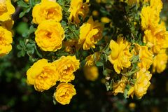 Yellow rosehip Bush in bloom on a sunny day. Yellow rosehip Bush in bloom on a bright sunny day, shrub, dogrose, wild, background, beautiful, blooming, blossom stock photo