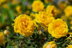 Yellow rosehip Bush in bloom on a sunny day. Yellow rosehip Bush in bloom on a bright sunny day, shrub, dogrose, wild, background, beautiful, blooming, blossom stock image