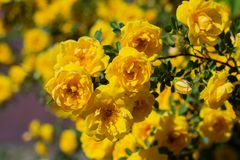 Yellow rosehip Bush in bloom on a sunny day. Yellow rosehip Bush in bloom on a bright sunny day, shrub, dogrose, wild, background, beautiful, blooming, blossom royalty free stock photo