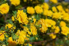 Yellow rosehip Bush in bloom on a sunny day. Yellow rosehip Bush in bloom on a bright sunny day, shrub, dogrose, wild, background, beautiful, blooming, blossom stock photography